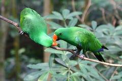 Зеленые длиннохвостые попугаи Стоковое Фото