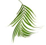 Зеленые листья ладони изолированные на белой предпосылке, c Стоковые Изображения