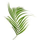 Зеленые листья ладони изолированные на белой предпосылке, c Стоковые Фотографии RF