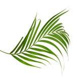 Зеленые листья ладони изолированные на белой предпосылке, c Стоковая Фотография