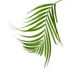 Зеленые листья ладони изолированные на белой предпосылке, c Стоковое Изображение RF