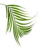 Зеленые листья ладони изолированные на белой предпосылке, c Стоковые Фото