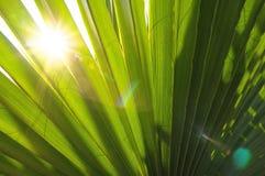 Зеленые листья ладони Стоковые Фотографии RF