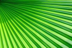 Зеленые листья ладони Стоковые Изображения RF