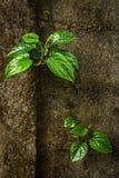 Зеленые листья бетэла Стоковое Изображение