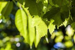 Зеленые листья виноградины лозы в конце лета вверх Стоковое Изображение