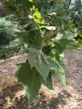 Зеленые листья лета Стоковые Изображения RF