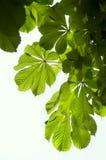 Зеленые листья каштана Стоковое Изображение RF