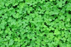 Зеленые листья клевера с росой Стоковые Изображения RF