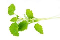 Зеленые листья Мелиссы Стоковые Изображения RF