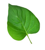 Зеленые листья на белизне Стоковая Фотография RF
