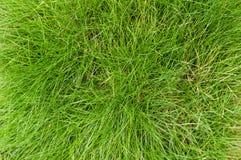 Зеленые листья овсяницы & x28; Gautieri& x29 Festuca; предпосылка стоковое фото