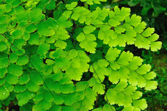 Зеленые листья папоротника стоковые изображения rf