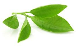 Зеленые листья померанца Стоковые Изображения