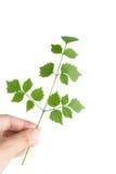 зеленые листья руки Стоковые Изображения