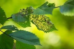 Зеленые листья съеденные насекомым, Стоковые Изображения