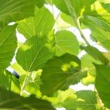 Зеленые листья шелковицы Стоковое фото RF