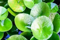Зеленые листья эллипсиса после дождя Стоковые Фотографии RF