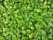 зеленые листья Стоковое Изображение