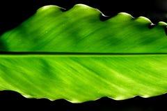 зеленые листья Стоковое Изображение RF