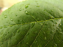 зеленые листья Стоковые Изображения RF