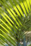 Зеленые листья Chrysalidocarpus под светом Стоковая Фотография