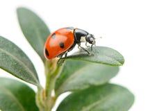 зеленые листья ladybird Стоковая Фотография RF
