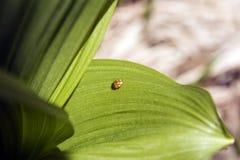 зеленые листья ladybird Стоковое Изображение RF