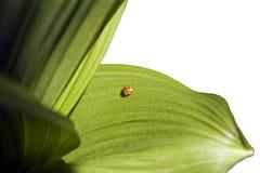 зеленые листья ladybird Стоковое Изображение