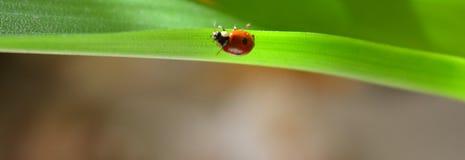 зеленые листья ladybug Стоковое Фото