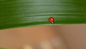 зеленые листья ladybug Стоковые Изображения