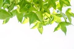 Зеленые листья marple на ветви Стоковые Изображения