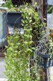Зеленые листья nummularia dischidia в саде природы Стоковое Изображение