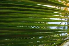 Зеленые лист ладони с ясным небом, текстура Стоковое фото RF