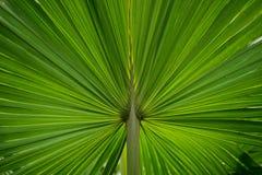 Зеленые лист ладони Стоковое Изображение RF
