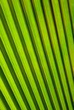 Зеленые лист ладони Стоковые Фотографии RF