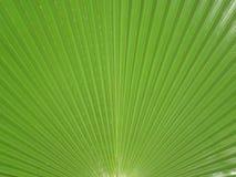 Зеленые лист ладони Стоковые Изображения