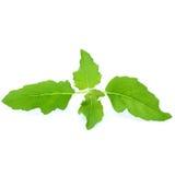 Зеленые лист базилика изолированные на белой предпосылке Стоковые Фотографии RF