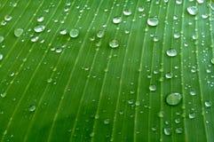 Зеленые лист банана с падениями воды Стоковое Изображение