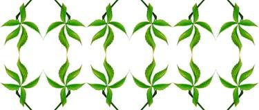 Зеленые лист виноградин безшовное предпосылки естественное Стоковые Фото
