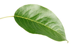 Зеленые лист груши на белизне Стоковые Изображения RF