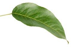 Зеленые лист груши на белизне Стоковое Фото