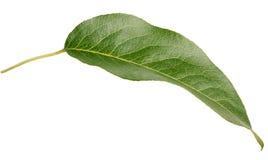 Зеленые лист груши на белизне Стоковая Фотография