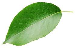 Зеленые лист груши на белизне Стоковые Фото