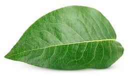 Зеленые лист груши на белизне Стоковое Изображение