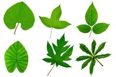 Зеленые лист дерева изолированные на белой предпосылке Стоковое Фото