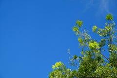 Зеленые лист дерева против неба с космосом экземпляра на левой стороне Стоковая Фотография