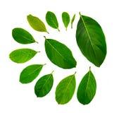 Зеленые лист джекфрута Стоковые Фотографии RF