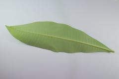 Зеленые лист изолированного дерева ceiba Bombax Стоковая Фотография