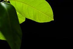 Зеленые лист лимона на черной предпосылке предпосылки стоковые изображения rf